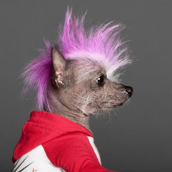 Close-Up Of Chinese Crested Dog With Pink Mohawk, 4 Years Old, In Front Of Grey Background-Life on White-Photographic Print