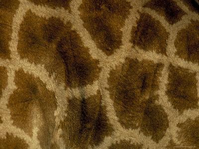 Close-Up of Coat Pattern of Giraffe (Giraffa Camelopardalis), Etosha National Park, Namibia, Africa-Steve & Ann Toon-Photographic Print