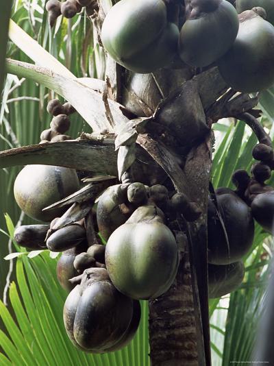 Close-Up of Coco De Mer, Vallee De Mai National Park, Island of Praslin, Seychelles-Bruno Barbier-Photographic Print