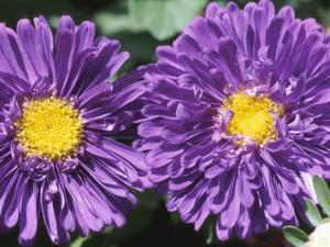 Close-Up of Colorful Purple Flowers Blooming in Nature