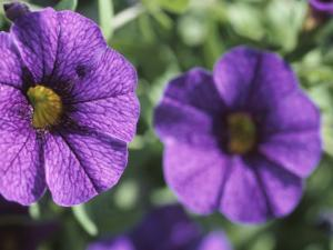 Close-Up of Colorful Purple Petunias Blooming in Nature