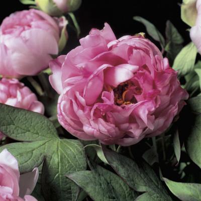 https://imgc.artprintimages.com/img/print/close-up-of-common-peony-flowers-paeonia-officinalis_u-l-q10bhp00.jpg?p=0