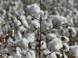 Close-up of Cotton Plants in a Field, Wellington, Texas, USA
