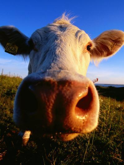 Close-Up of Cow's Nose at Glumslovs Backar, Landskrona, Skane, Sweden-Anders Blomqvist-Photographic Print