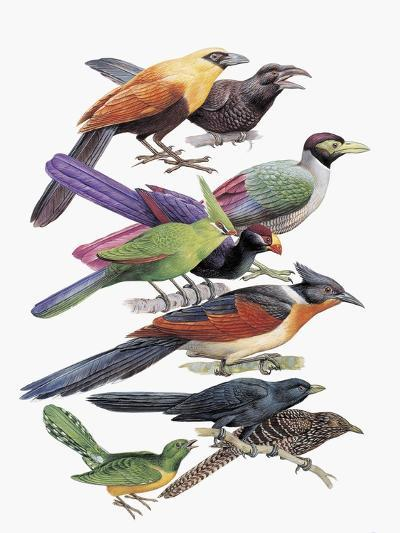 Close-Up of Cuckoos Perching on Branches--Giclee Print