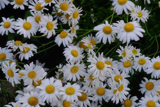 Close-Up of Daisies Blooming in Spring-Paul Damien-Photographic Print