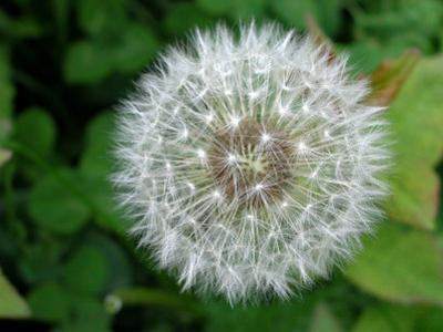Close-Up of Dandelion Flower with Dew on Petals