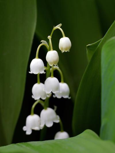 Close Up of Delicate Lily of the Valley Flowers-Amy & Al White & Petteway-Photographic Print