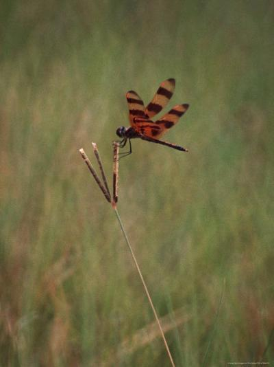 Close-up of Dragonfly on Blade of Grass, FL-Pat Canova-Photographic Print