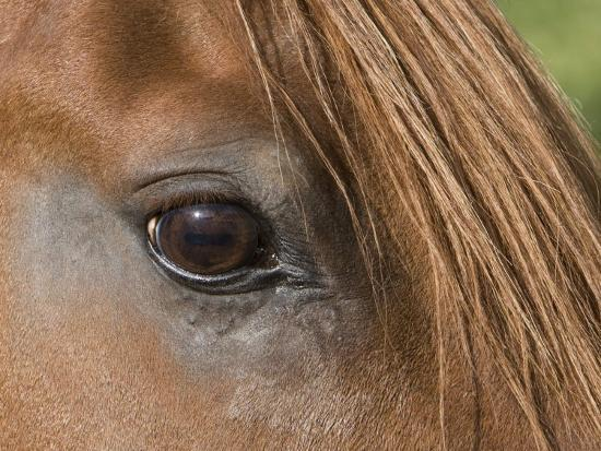 Close Up of Eye of Chestnut Peruvian Paso Stallion, Sante Fe, New Mexico, USA-Carol Walker-Photographic Print
