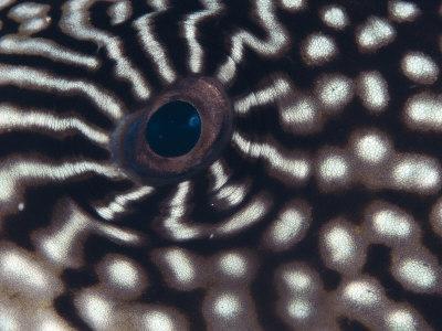 Close up of Eye of Pufferfish, Indo Pacific-Jurgen Freund-Photographic Print