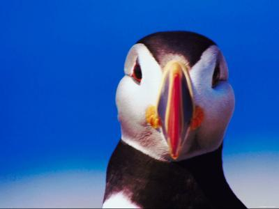 Close Up of Face of Puffin--Photographic Print