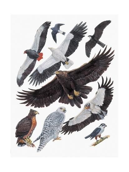 Close-Up of Falcons--Giclee Print