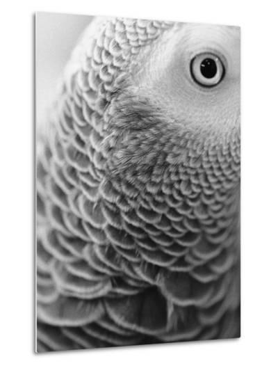Close-up of Feathers and Eye of an African Grey Parrot-Henry Horenstein-Metal Print