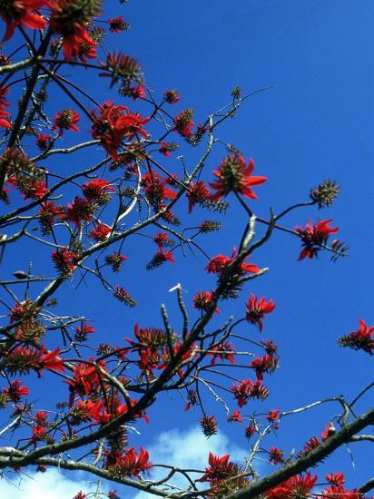 Close-up of Flame Tree with Sky-Michele Burgess-Photographic Print