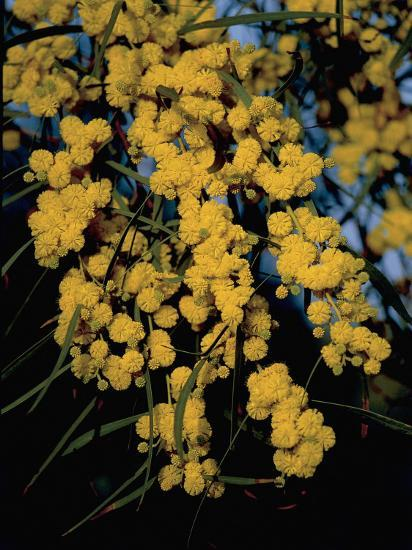 Close-Up of Flowers on Silver Wattle Tree (Acacia Dealbata)-R^ Carnovalini-Photographic Print
