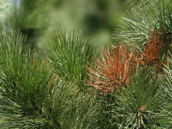 Close Up of Fresh Green Pine Needle Branches--Photographic Print