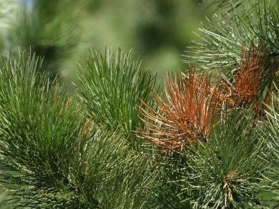 https://imgc.artprintimages.com/img/print/close-up-of-fresh-green-pine-needle-branches_u-l-q10x8l90.jpg?p=0