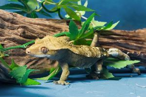 Close-up of Gecko lizard