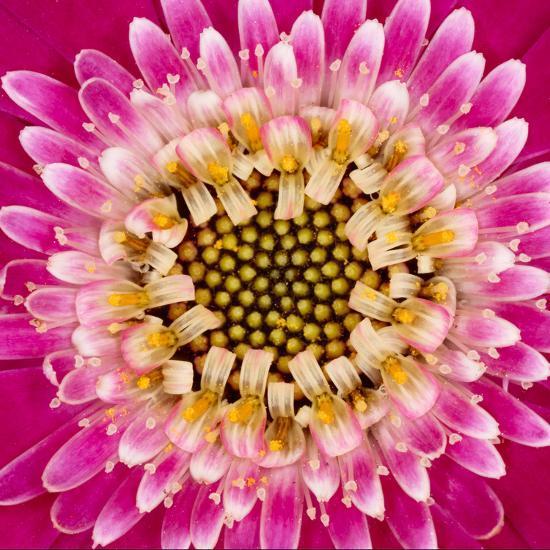 Close-up of gerber daisy, Florida.-Adam Jones-Premium Photographic Print