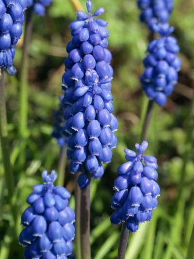 Close-Up of Grape Hyacinth Flowers, Taken in April, in Devon, England-Michael Black-Photographic Print