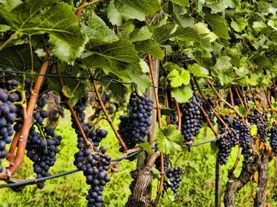 Close Up of Grapes at Hofkellerei Winery, Liechtenstein-Bill Bachmann-Photographic Print