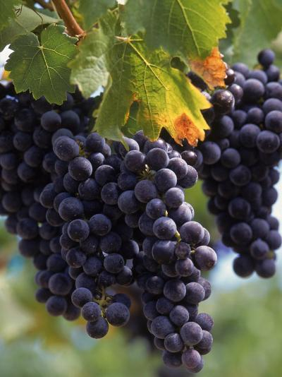Close-up of Grapes on Vine-John Luke-Photographic Print