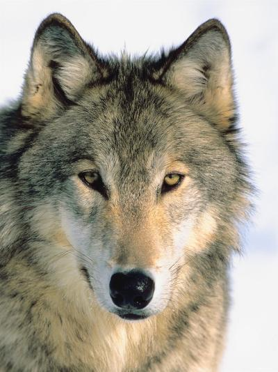 Close Up of Gray Wolf Head in Nature--Photographic Print