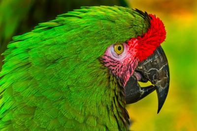 https://imgc.artprintimages.com/img/print/close-up-of-green-military-macaw_u-l-q1gbb7u0.jpg?p=0