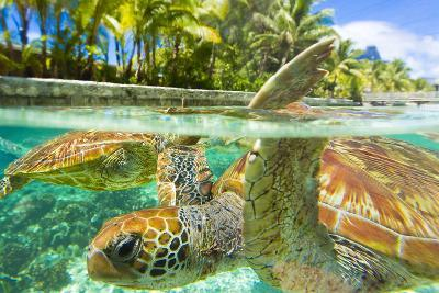 Close Up of Green Sea Turtles While Swimming with Them at the Le Meridien Resort-Mike Theiss-Photographic Print