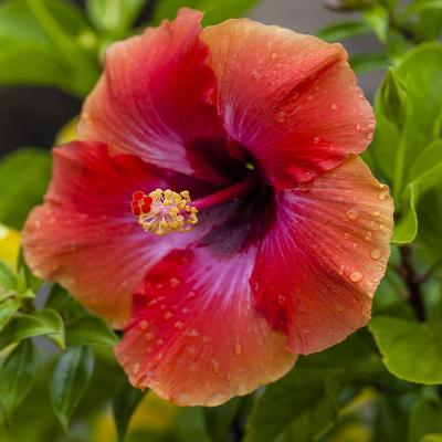 Close-Up of Hibiscus Flower-Richard T. Nowitz-Photographic Print