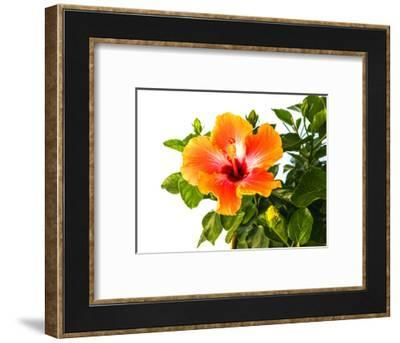 Close-up of Hibiscus flower-Panoramic Images-Framed Photographic Print