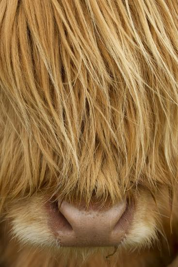 Close-Up of Highland Cow (Bos Taurus) Showing Thick Insulating Hair, Isle of Lewis, Scotland, UK-Peter Cairns-Photographic Print