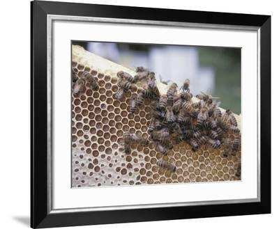 Close-up of Honeybees on Sweet Honeycomb--Framed Photographic Print