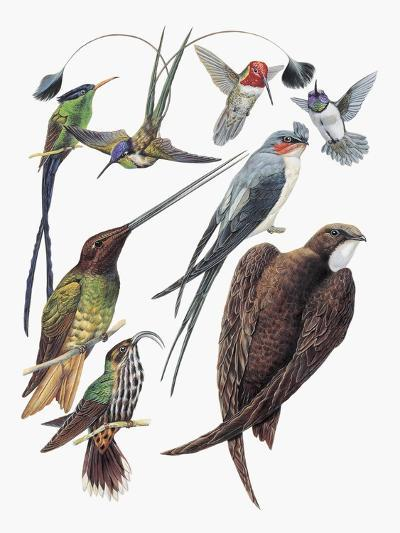 Close-Up of Hummingbirds and Swifts--Giclee Print