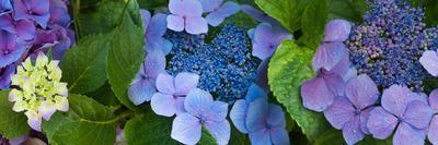 https://imgc.artprintimages.com/img/print/close-up-of-hydrangea-flowers_u-l-pwezaa0.jpg?p=0