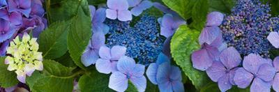 Close-Up of Hydrangea Flowers