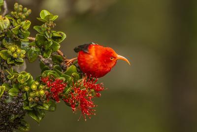 https://imgc.artprintimages.com/img/print/close-up-of-iiwi-bird-on-ohia-tree-hakalau-forest-nwr-hawaii-usa_u-l-pxr7t80.jpg?p=0