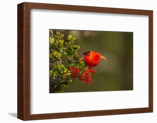 Close-Up of Iiwi Bird on Ohia Tree, Hakalau Forest NWR, Hawaii, USA-Jaynes Gallery-Framed Photographic Print
