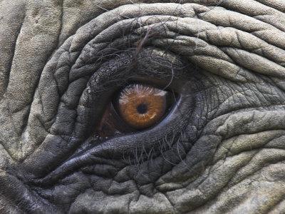 https://imgc.artprintimages.com/img/print/close-up-of-indian-elephant-eye-domestic-kaziranga-national-park-assam-india_u-l-q10o1v30.jpg?p=0
