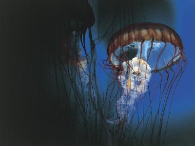 Close-Up of Jellyfish Underwater--Photographic Print