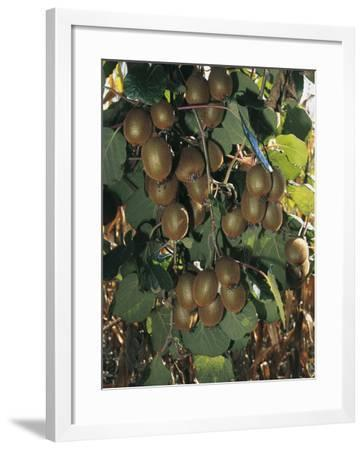 Close-Up of Kiwi Fruits Hanging on a Tree, Lalinde, Aquitaine, France-C^ Sappa-Framed Photographic Print