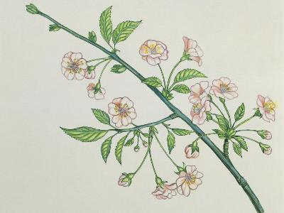 Close-Up of Korean Cherry Blossoms on a Branch (Prunus Japonica)--Photographic Print