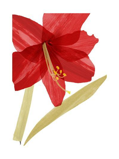Close-Up of Large Red Hibiscus--Art Print
