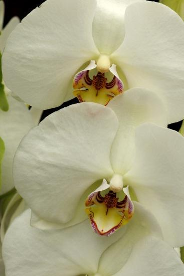 Close Up of Large, White Phalaenopsis Orchids, Phalaenopsis Species-Darlyne A^ Murawski-Photographic Print