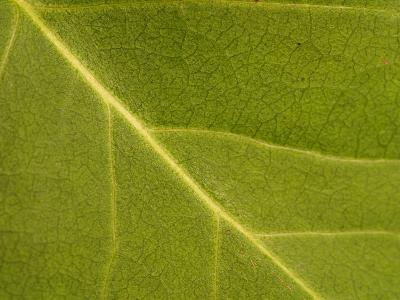 Close-Up of Leaf During Spring with Veins and Random Patterns--Photographic Print