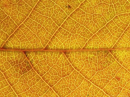 Close-up of Leaf Showing Vein Structure and Autumn Colour, Scotland-Mark Hamblin-Photographic Print