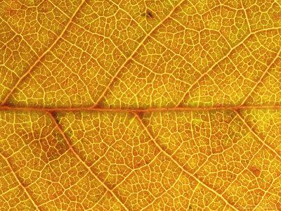 https://imgc.artprintimages.com/img/print/close-up-of-leaf-showing-vein-structure-and-autumn-colour-scotland_u-l-q10r2qu0.jpg?p=0