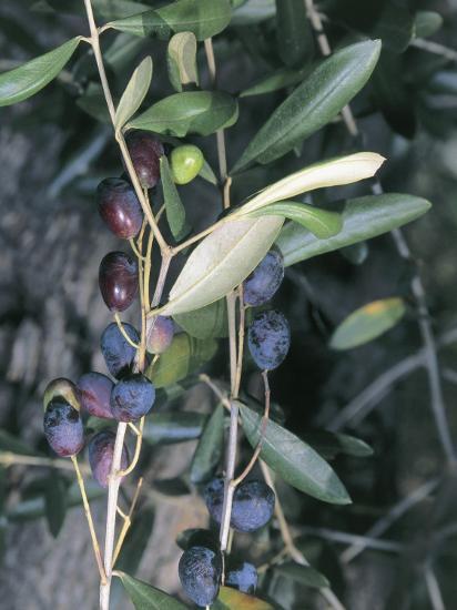 Close-Up of Leaves of an Olive Tree (Olea Europaea) with Fruits, Diano Marina, Liguria, Italy-S^ Montanari-Photographic Print
