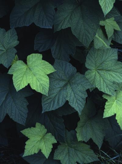 Close-Up of Leaves--Photographic Print